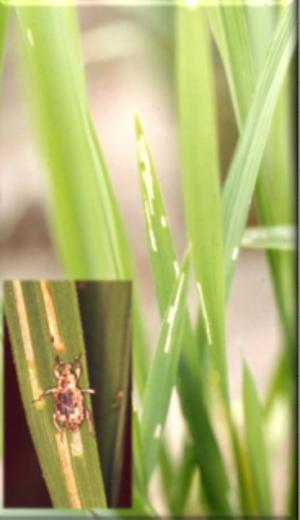 ▲イネミズゾウムシの成虫と食害