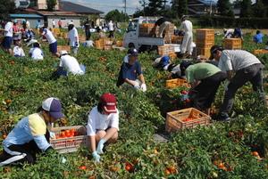 加工用トマト 全校生徒で収穫