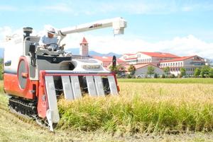 黄金色に実った稲を刈り取る