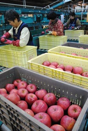 安曇野産りんご「サンふじ」初選果