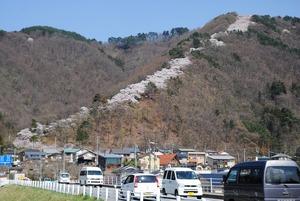 光城山の頂上に向かって延びる桜の「昇り竜」