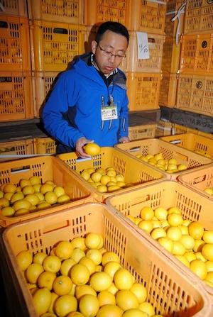 小倉果実冷蔵庫でJA広島ゆたかのレモンを貯蔵