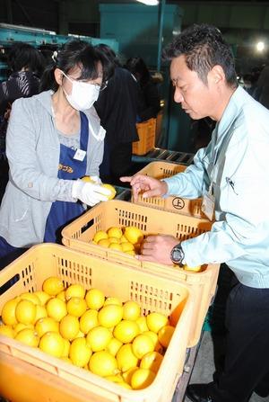JA広島ゆたかの山根課長�にレモンの選別について確認する選果員