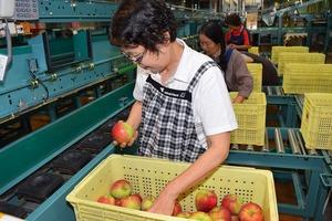 ▲リンゴの状態を確認するスタッフ