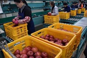 ▲リンゴの傷などを確認する作業員
