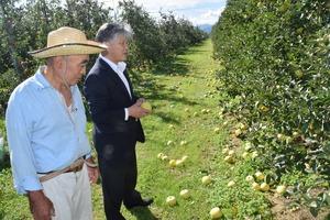 ▲落果被害が出たリンゴ「シナノゴールド」の園地を確認する千國組合長(右)