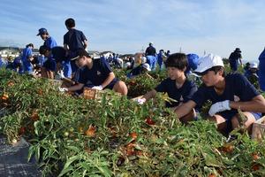 ▲収穫作業に励む梓川中学校の生徒