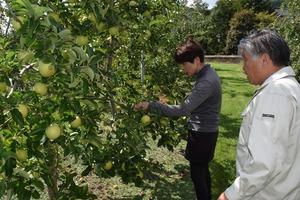 ▲農家と一緒にリンゴの被害状況を確認する千國組合長(右)