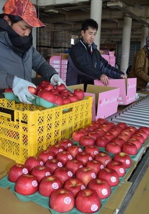 ▲「ピンクレディー」の出荷作業をする生産者やJA職員