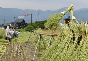 ▲提供されたパイプやはぜ足に収穫した菜種を掛ける会員ら