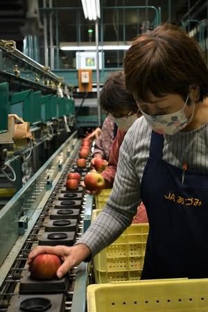 ▲目視でリンゴの品質を確認する選果スタッフ
