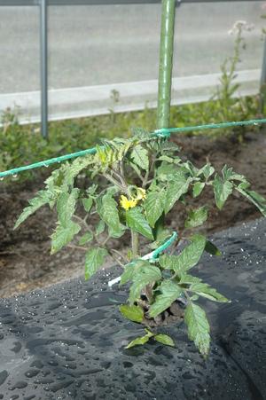 黄色の花が咲いたトマトの苗です