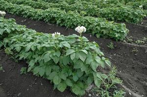 ジャガイモの花です