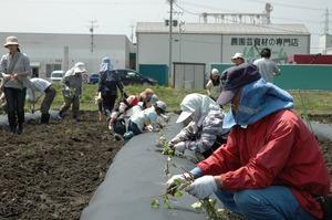 皆でサツマイモの定植作業! 大きくなれよ〜