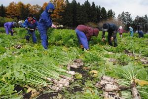 特産「牧大根」収穫 11月18日の「牧大根祭り」で販売